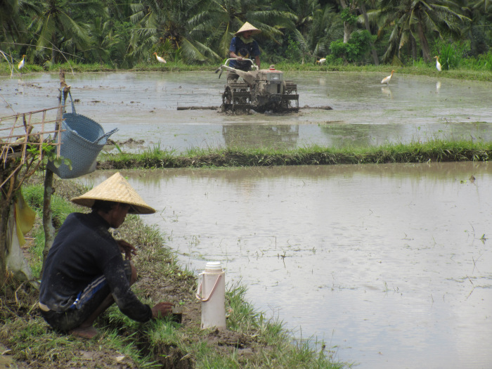 Image of workers in the rice fields.